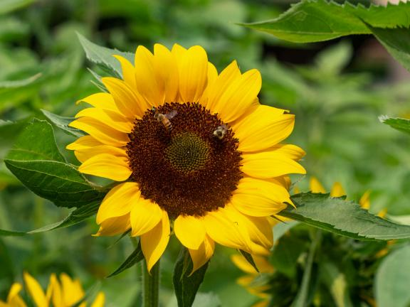 Two bees sit on the face of a bright yellow sunflower.