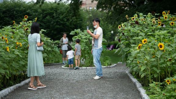 Visitor posing in front of sunflower bed while another visitor takes photo using smartphone; children in the background